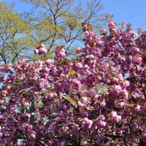市営グランドの八重桜~大月市①