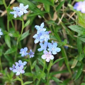 毎年土手に咲くかわいらしい花~ ホタルカズラ