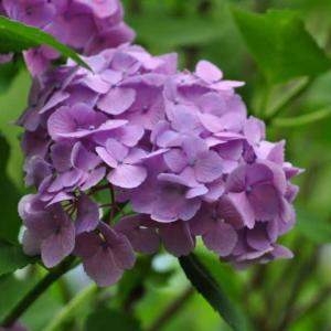 楽山公園の紫陽花~都留市②