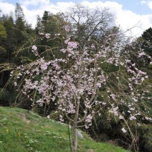 初めて咲いた畑のしだれ桜