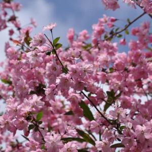 庭に咲いたハナカイドウと石楠花