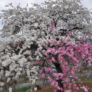 畑の近くに咲いていたハナモモと菜の花
