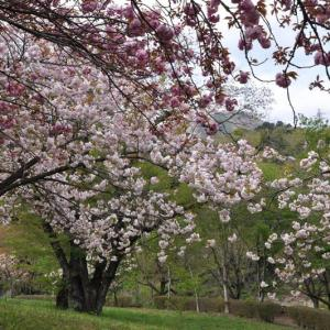 猿橋公園の八重桜と御衣黄桜~大月市③終