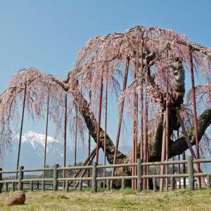 神田のオオイトザクラ~小淵沢町(2007年)回想