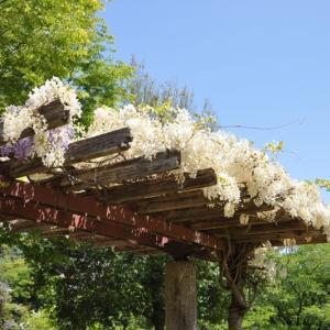 猿橋公園の藤を見に~大月市②