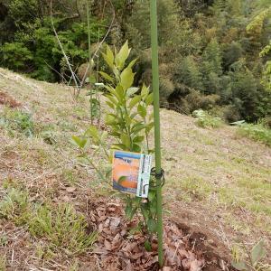 ミカンとキウイの苗木を植えました♪