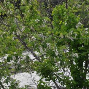 河原にハリエンジュの撮影に行って来ました。②