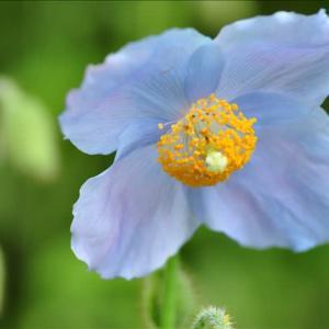 ヒマラヤの青いケシ~箱根湿性花園(回想)