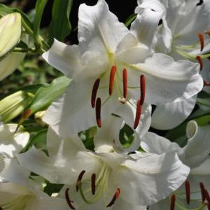 畑に咲いたカサブランカ