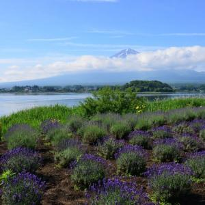 ラベンダーと富士山~河口湖大石公園②(回想)
