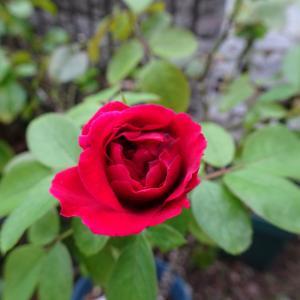 9月初旬の 薔薇 マダムヴィオレ ♪