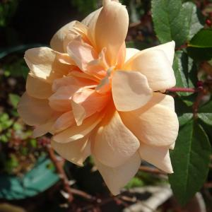 我が家の庭 一月初め 薔薇 ウインターコスモス 山茶花 ♪