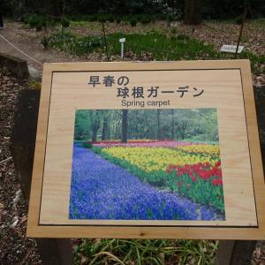 京都府立植物園 春の花 スノードロップの群生 ♪