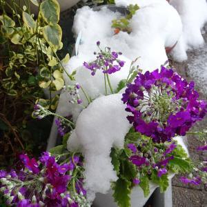 我が家の庭 雪が降った日 プリムラ・マラコイデス 桜草  ♪