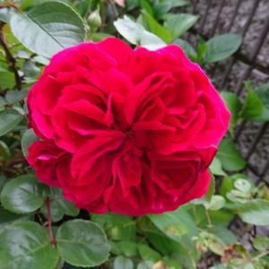 我が家の庭 薔薇 レッドレオナルドダヴィンチ ♪