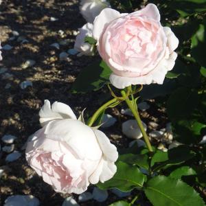 薔薇園   かおるの  みやび  ♪