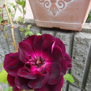 我が家の庭    五月の薔薇  アイスバーグ ♪
