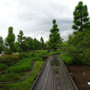 水生植物公園みずの森  半夏生♪