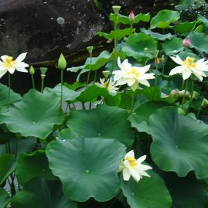 水生植物公園みずの森 ハス池お手入れ ♪