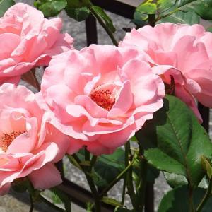 薔薇  クィーンエリザベス  ♪