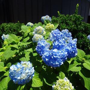 六月の紫陽花  ♪