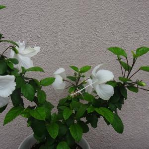 ホワイトハイビスカス咲きました  ♪