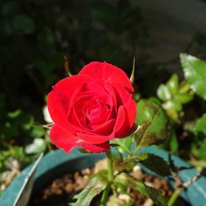 六月の薔薇  ペットショップの子猫  ♪