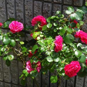 我が家の庭   夏の花  ペンタス  ♪