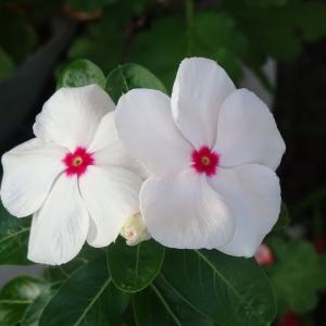 我が家の庭  夏の花   二チ二チソウ  ♪