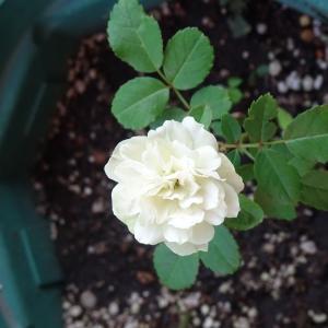 我が家の庭  ミニ薔薇    グリーンアイス   ♪