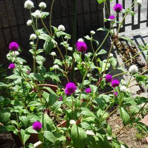 我が家の庭  夏の花   センニチコウ  ♪
