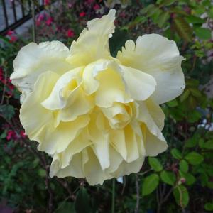 十二月の薔薇  エリナ  ♪