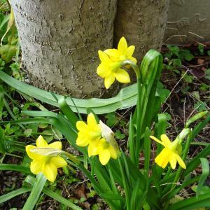 我が家の庭  黄水仙  ♪