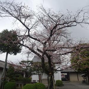 京都 東寺 その5  染井吉野の古木 と ㇵナカイドウ ♪