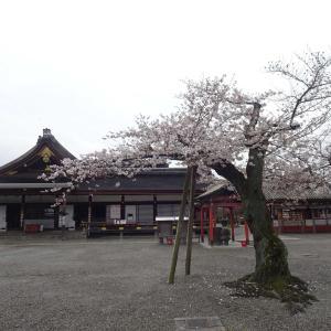 京都   東寺  その5  五重の塔と枝垂桜  一不二桜♪