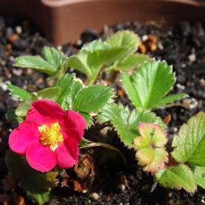 我が家の庭   苺の花  ♪