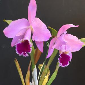 C.jenmanii 'Santa Helena'