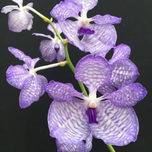 Vanda.coerulea 'Mishima'