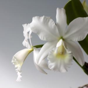 雪がちらちら...;C.jenmanii f.alba