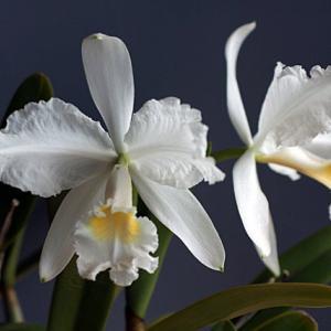 C.luedennmaniana fma.alba