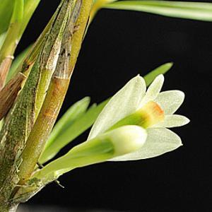 Den.vexillarius f.albiviride