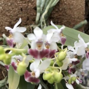 Phalaenopsis.parishii