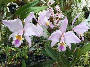 C.gaskelliana 'Tropical Finevar'