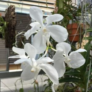 Vanda.coerulea fma.alba