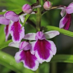 Ponerorchis. graminifolia