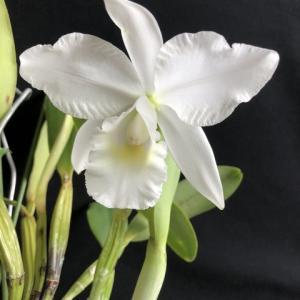 C.jenmanii fma.alba