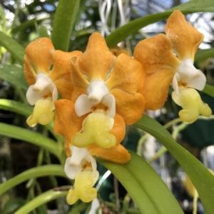 秋雨;Vanda.denisoniana