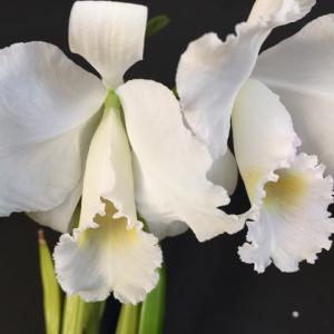 体感気温2℃;C.trianae fma.albescens