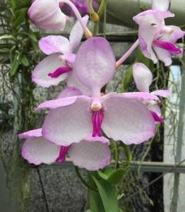 道路氷結;Vanda .coerulea fma.delicata