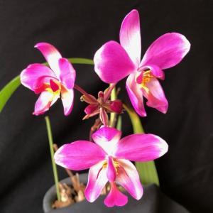 """Spathoglottis.parsonii""""Prasam""""#04"""
